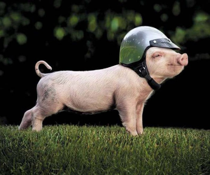 Safe Pig.jpg