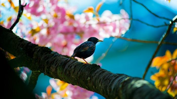 bird in cherry tree.jpg