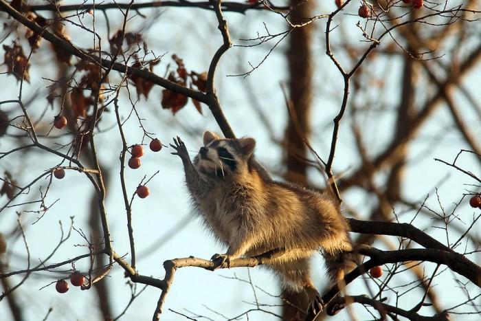 raccoon reach.jpeg