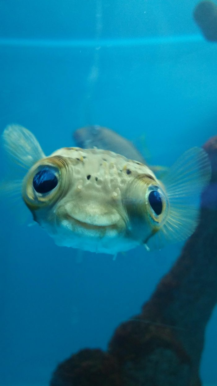 happy puffer fish.jpg