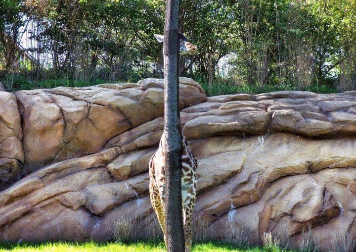 Giraffee Hide and Seek.jpg