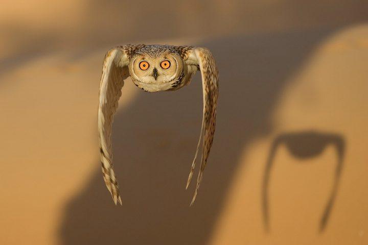 Eagle Owl in flight.jpg