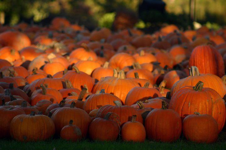 A fleet of pumpkins.jpg