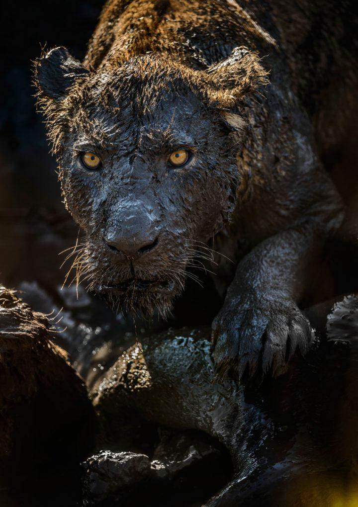 dirty lion.jpg