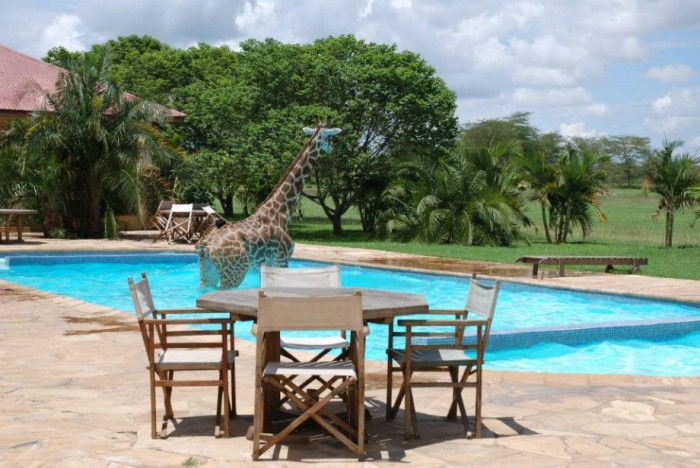 giraffe swim 700x468 Giraffe in a Pool