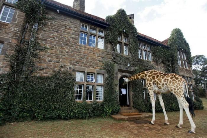 Giraffe-in-a-House.jpg (239 KB)