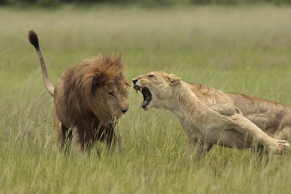 Angry-Lions-Pictures.jpg (107 KB)