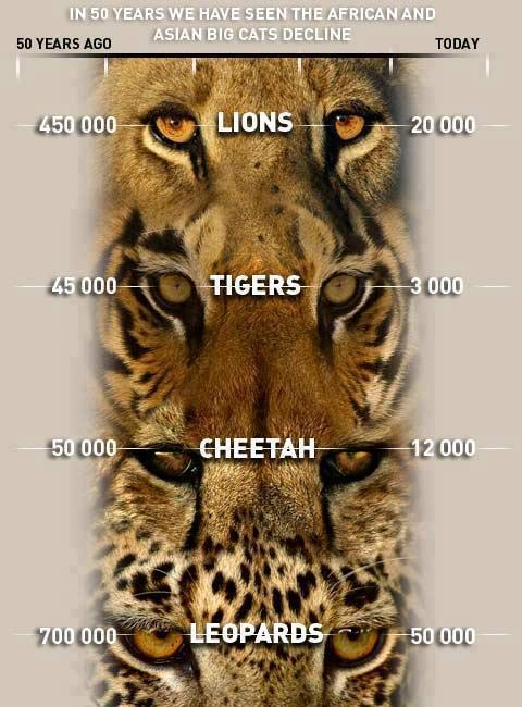 Big Cat Population Decline Tigers lions animals