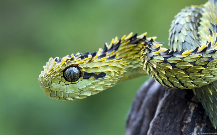 BushViper 700x437 Bush Viper wallpapers snakes Nature