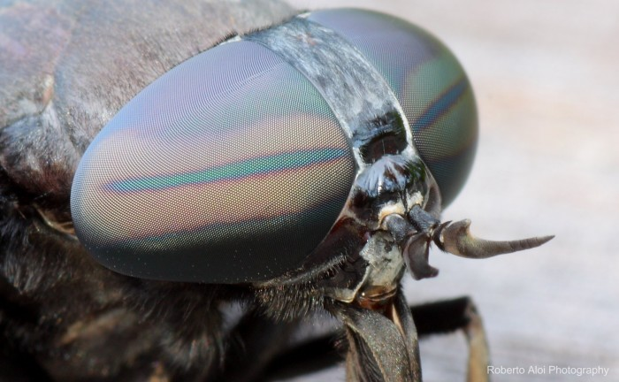horsefly eye 700x432 Horsefly eyes wallpapers Photography Nature macro interesting insects compound eye
