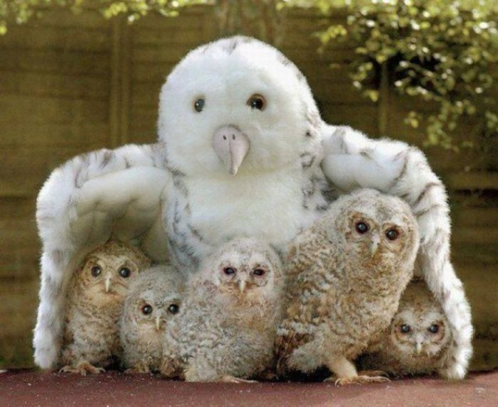 iA0h9qx 700x573 Surrogate mom owls Cute As Hell Animals