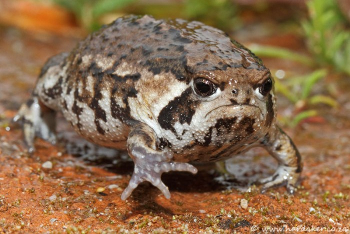 grumpy toad 700x467 Grumpy toad wtf toad Nature Cute As Hell Animals