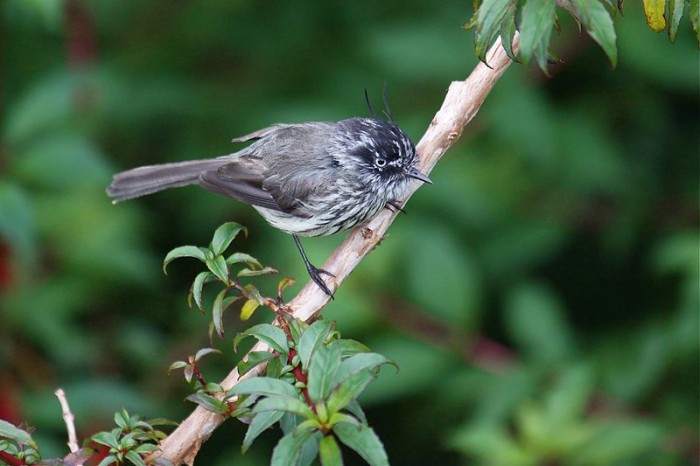 800px Tufted Tit Tyrant 700x466 Tufted Tit Tyrant wtf tits Nature names lol birds