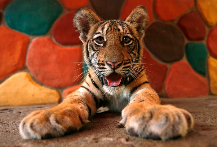 tiger 700x475 Tiger kids cute animals