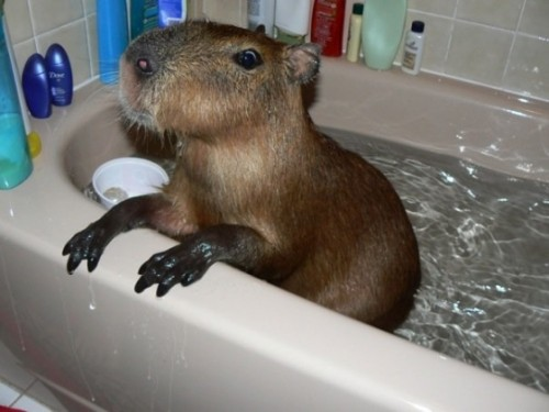capybara 500x375 A capybara in a bathtub wtf Cute As Hell Animals