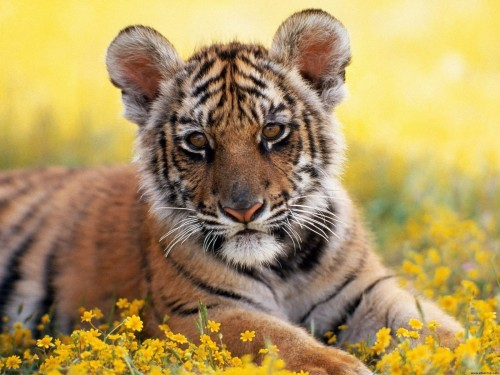 cachorro_de_tigre.jpg (641 KB)