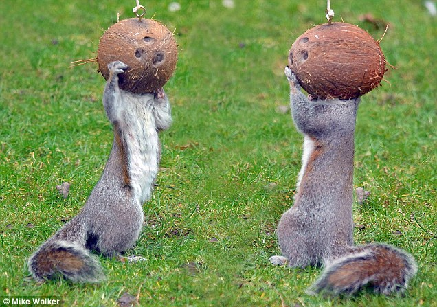 squirrels and coconuts.jpg (118 KB)