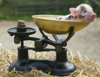 z119907700 Super Teacup Pigs, Latest Pet Craze