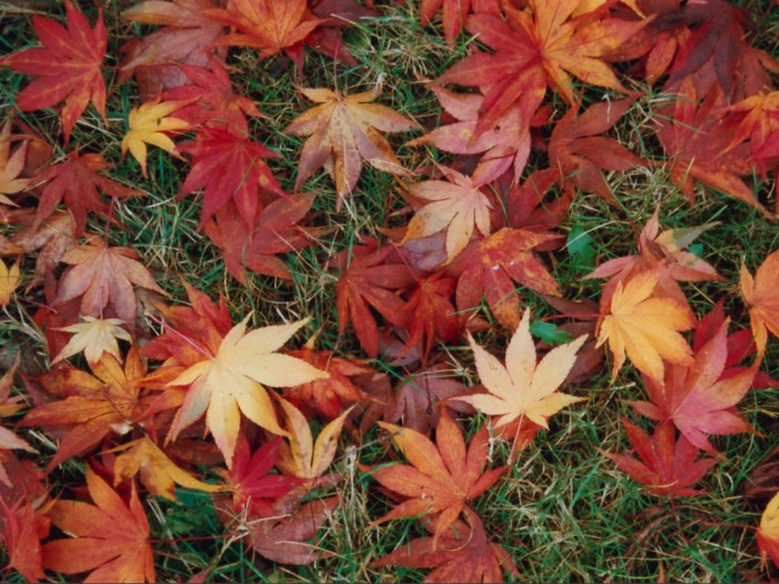 leaves (16) 700x525 Autumn Leaves Wallpapers Wallpaper Nature