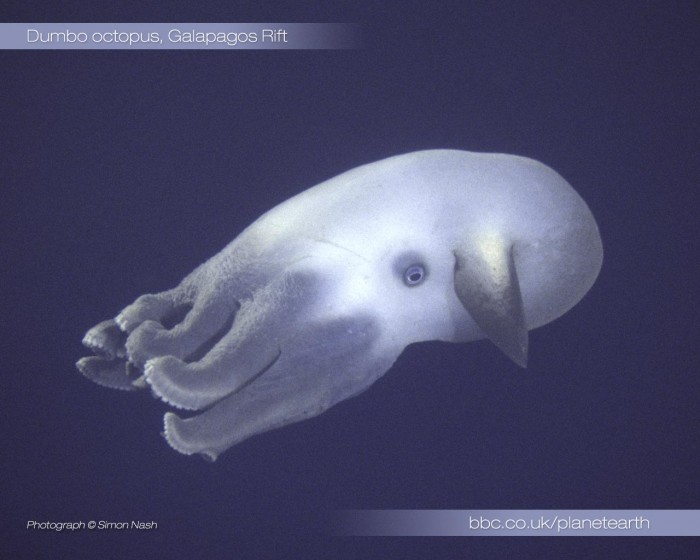 ocyto 700x560 Dumbo Octopus Wallpaper Science! Nature