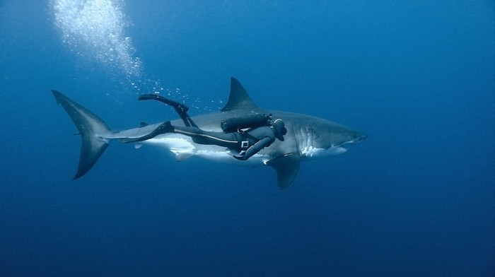 99 great white shark guadalupe island mexique 700x392 Diving With A Great White Shark