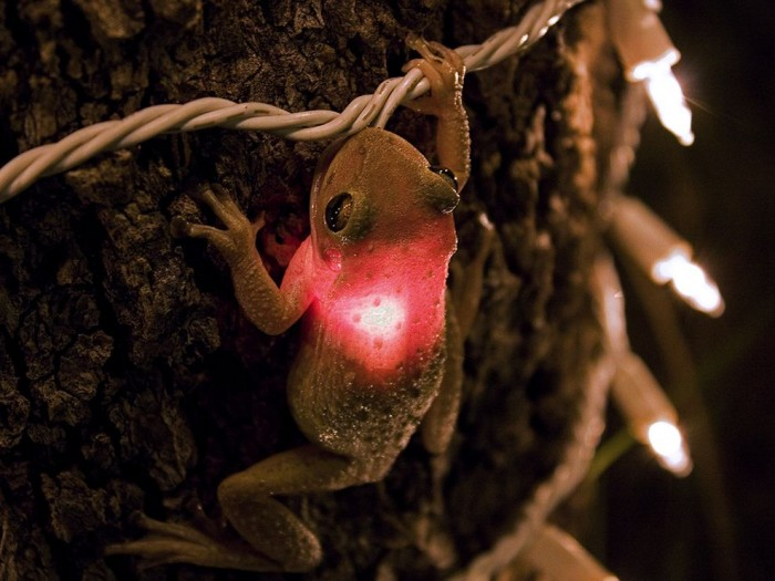 cuban-tree-frog_3627_990x742.jpg (108 KB)