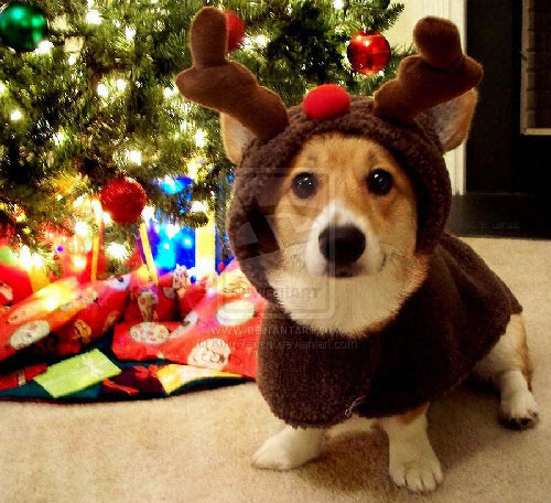 corgi christmas Irish Corgi