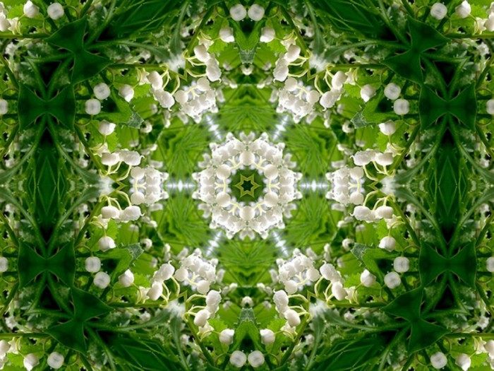lily of valley 700x525 Lily of the Valley