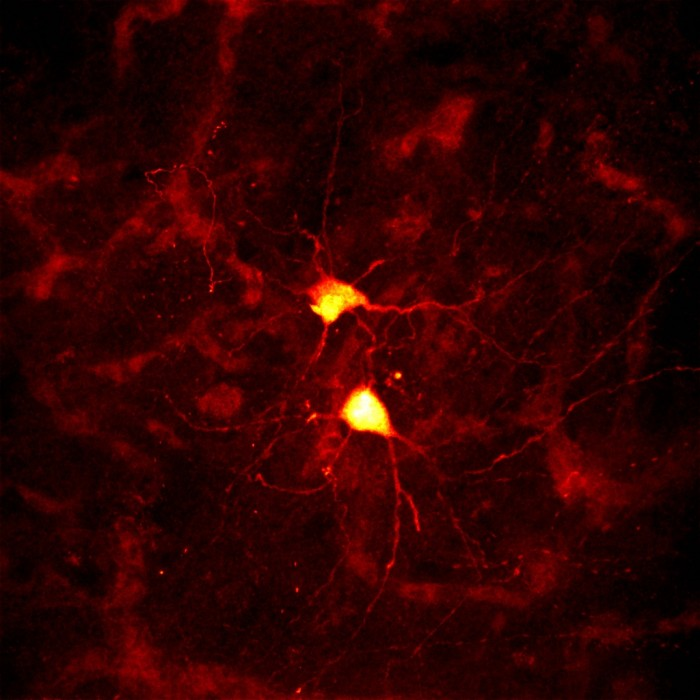 finch neurons 700x700 Finch Neurons
