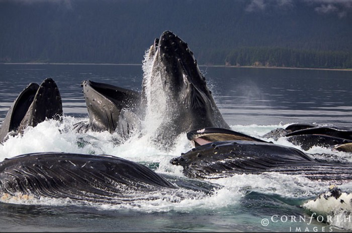Humpback Whales Bubble Feeding, Chatham Strait, Alaska 700x463 Humpback Whales Nature