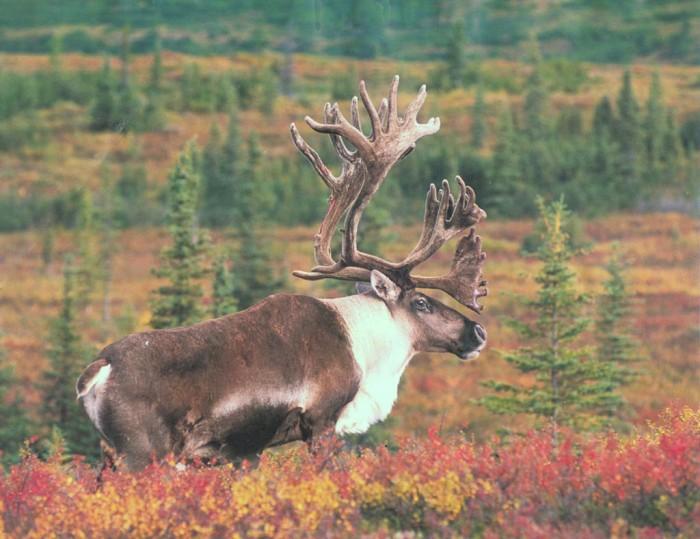 caribou.jpg (131 KB)