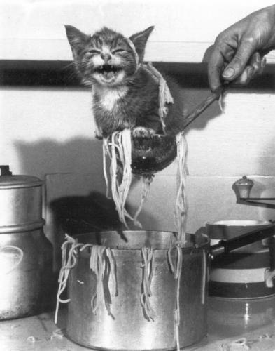 Spaghetti kitten.jpg (53 KB)