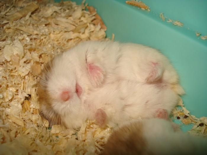 Sleeping_Hamster_by_totoro78.jpg (117 KB)