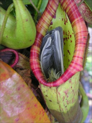 planteatsbird Pitcher Plant Eats Bird