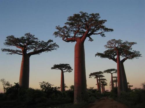 baobabs.jpg (60 KB)