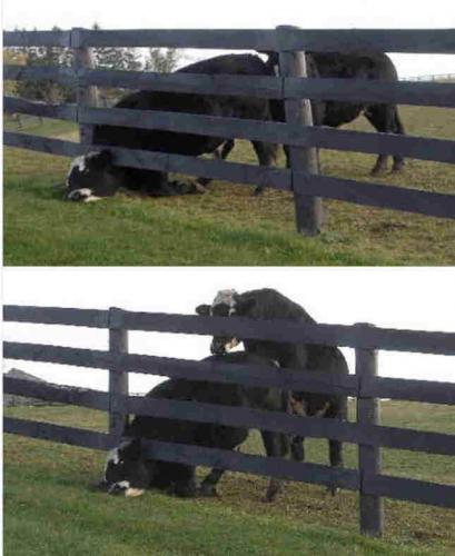 post 1207429518.thumbnail Cow Has A Bad Day XXX wtf Nature