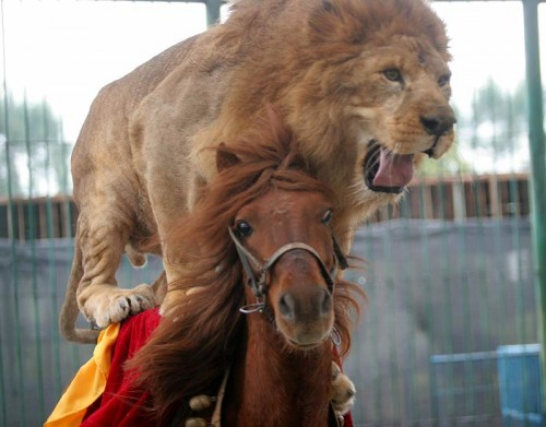 Lion2BAR0602 800x626 500x391 Moar Lion on Horse Humor