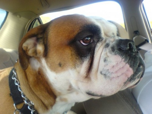 n503214698 212353 7934 500x375 Olde English Bulldogge Cute As Hell Animals