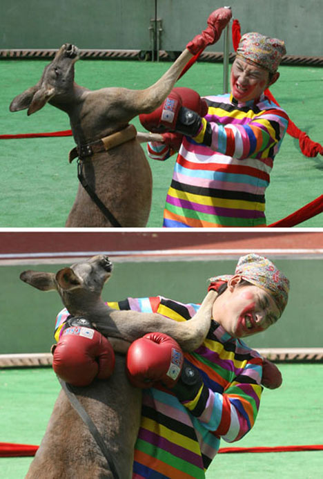 Chinaman vs. Kangaroo Man vs. Kangaroo wtf