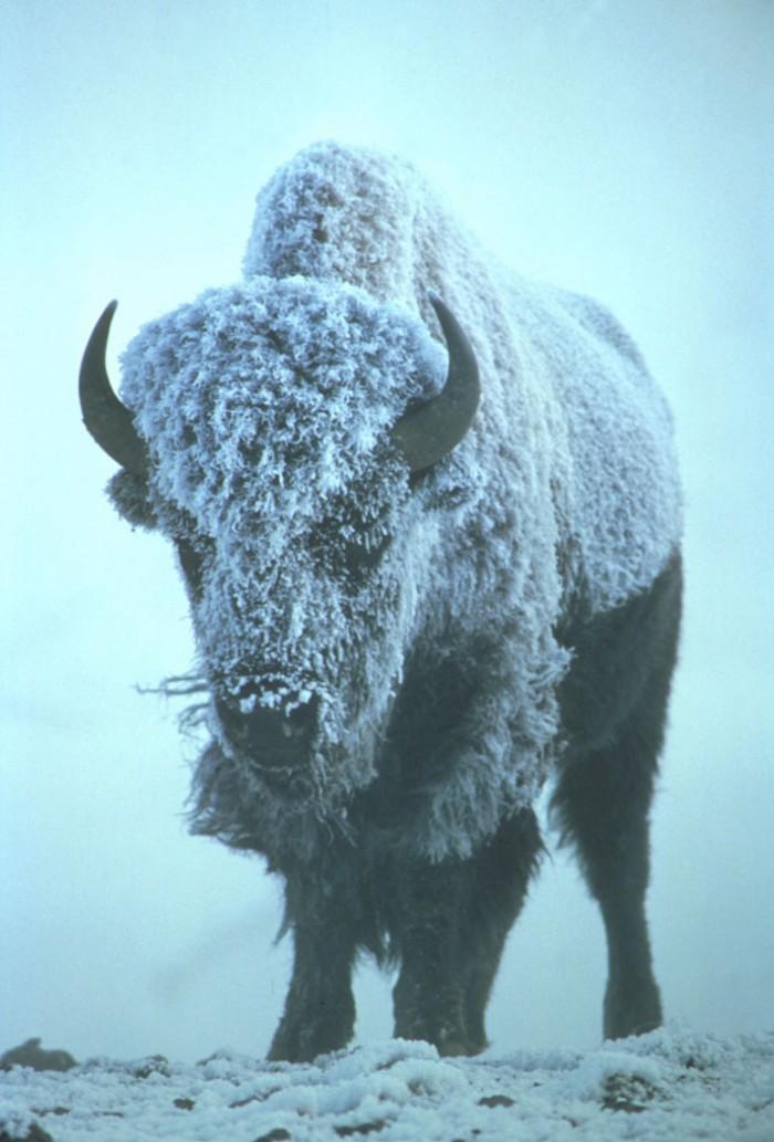 Bison.jpg (126 KB)