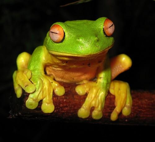 Red-eyed_Tree_Frog_-_Litoria_chloris_edit1.jpg (697 KB)