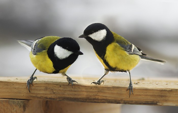 great tits 700x446 A pair of Great Tits Wallpaper Nature