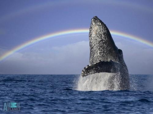 humpback-breaching-rainbow-1024.jpg (119 KB)