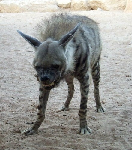 pissedoffhyena 440x500 Pissed off hyena Cute As Hell Animals