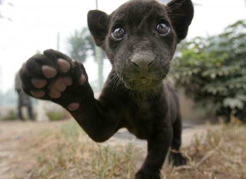 baby-jaguar.jpg (71 KB)