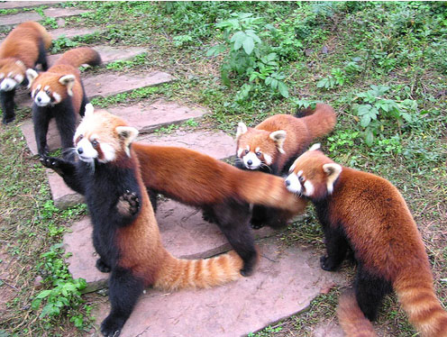 red panda bears.jpg (119 KB)