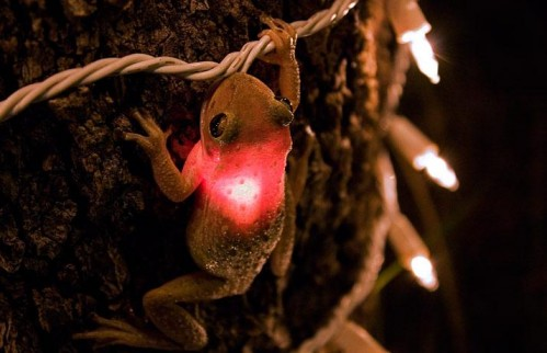 TreeFrog 499x322 Iluminated Frog Nature funny Cute As Hell Animals
