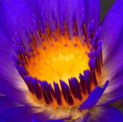 blue lotus close Blue Lotus blue