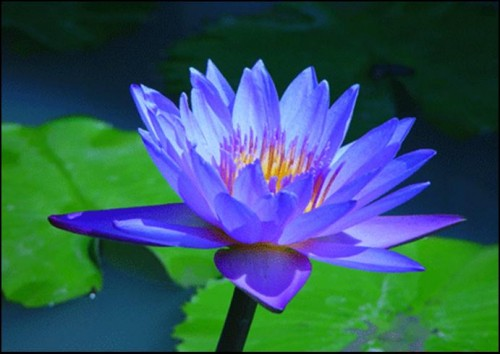 blue lotus image 500x354 Blue Lotus blue
