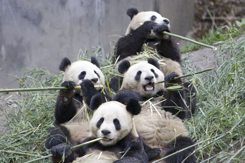 01 giant panda group eating bamboo 500x333 Pandas Eating Bamboo Buffet Nature Humor Cute As Hell Animals